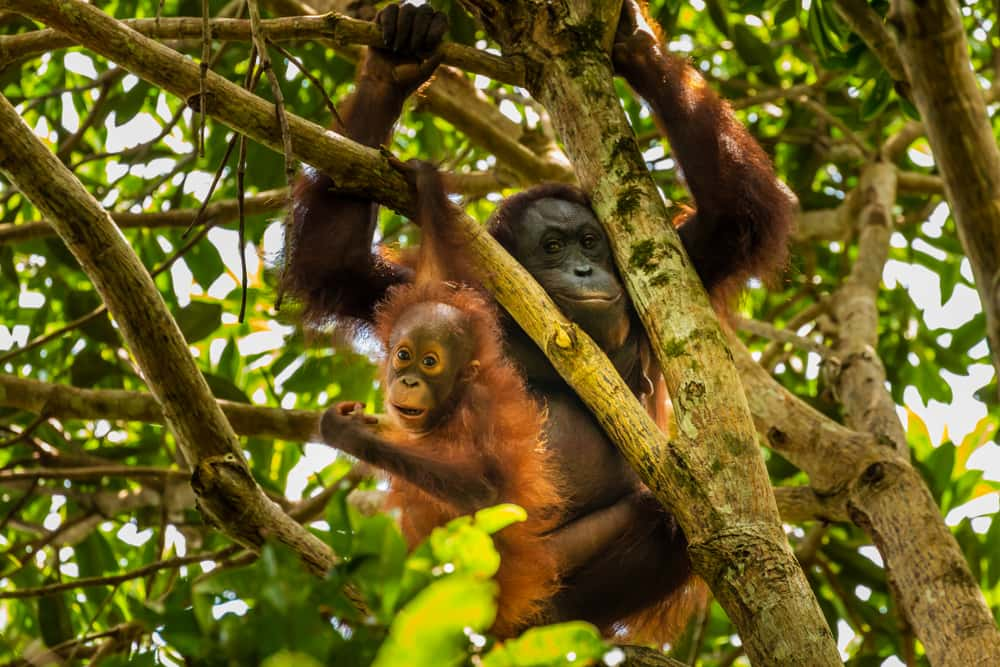 Orangutans in the Borneo rain forest